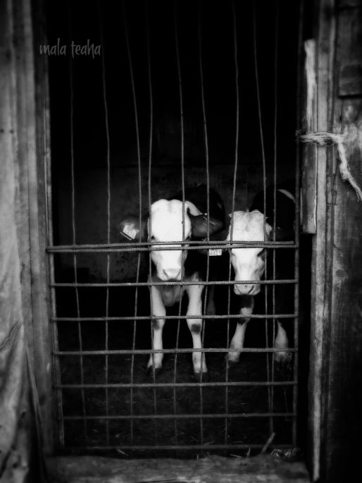 The cruel wild beast is not behind the bars of the cage, he stands in front of it. Axel Munthe in The Story of San Michele (1929) *     *