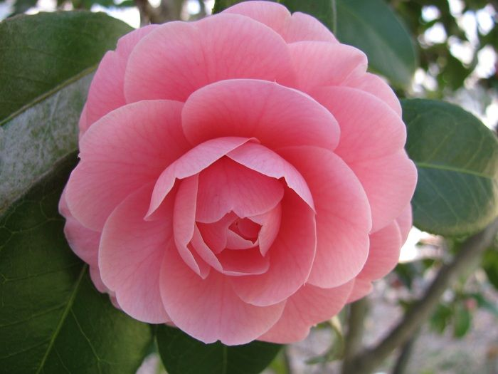 1000 images about camellia flowers on pinterest - Camelia planta ...