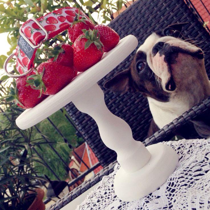 Bloomdogdesign/Boston terrier