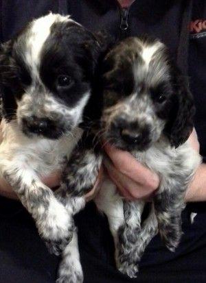 cocker spaniel puppies | Barnsley, South Yorkshire | Pets4Homes