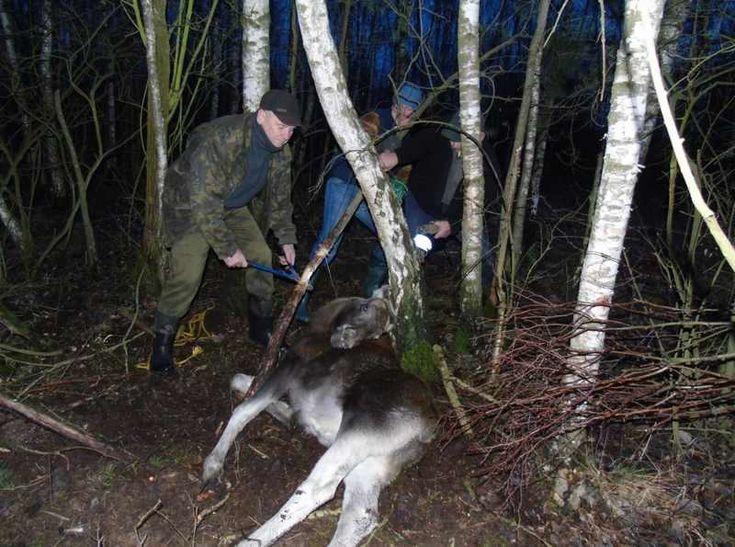 Nietypową akcję ratunkową – podczas świątecznego spaceru – musiał zorganizować Tadeusz Kamiński, podleśniczy z leśnictwa Ościsłowo.