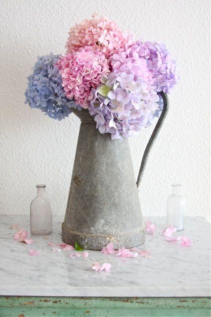 beautiful, hydrangeas in a zinc pot French Larkspur