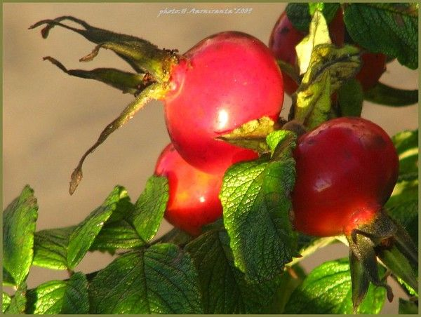 berries-season/fall by Heli Aarniranta on ARTwanted