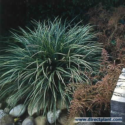 Zegge (Carex morrowii 'Variegata')