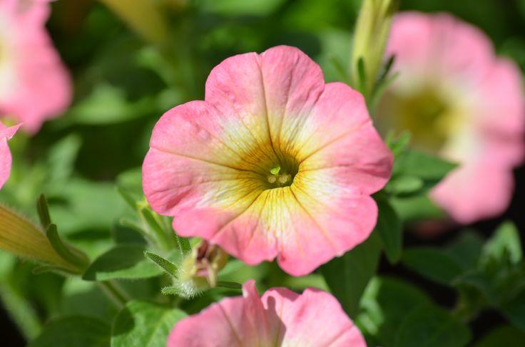 Petunia hybrida Pegasus 'Table Pink Vanilla'