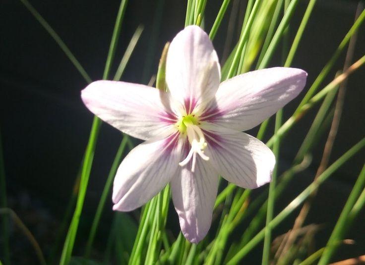 Gladiolus quadrangulus