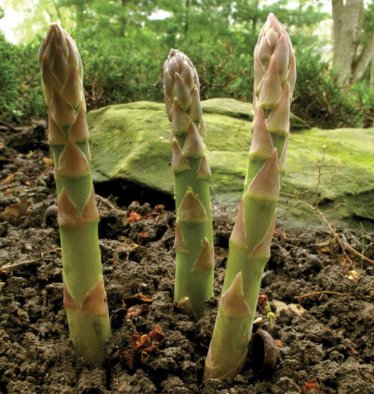 Plant Guelph Millennium Asparagus Crowns for a faster way to harvest fresh asparagus from the organic vegetable garden. Perennial vegetables grow for years.