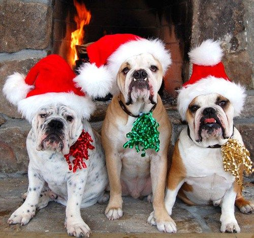 These pups put your Christmas spirit to shame   Woof Blitzer