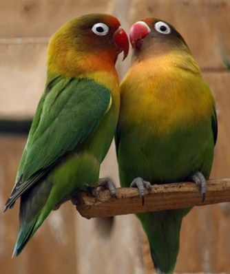 Harga Burung Lovebird Terbaru