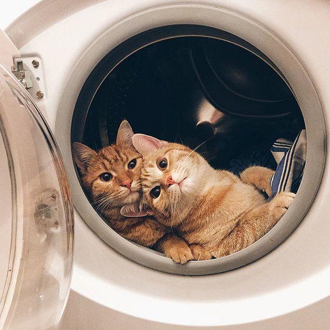 Photos: Deux chats roux inséparables - News Loisirs: Animaux - lematin.ch