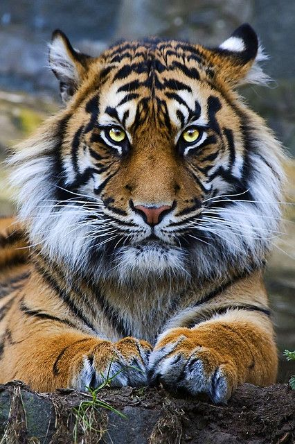 love tigers { Easy, eeeaassyyy....Big Guy. Did you take your Xanax today?}
