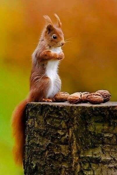 Белка и орехи.