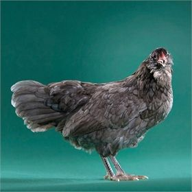 Day-Old Chicks: Blue Easter Egger