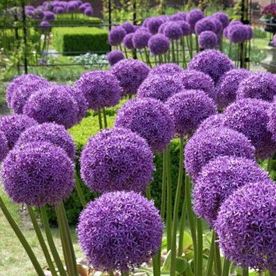 Allium Bulbs Globe Master, Allium | Low Water Plants, Eco Friendly Landscapes | High Country Gardens
