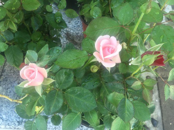 Rosas y verde