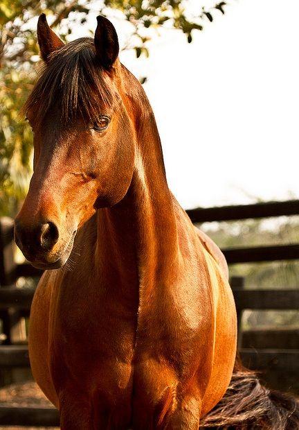 Morgan, I love this breed... by Raphael Macek | Flickr | bay Morgan horse