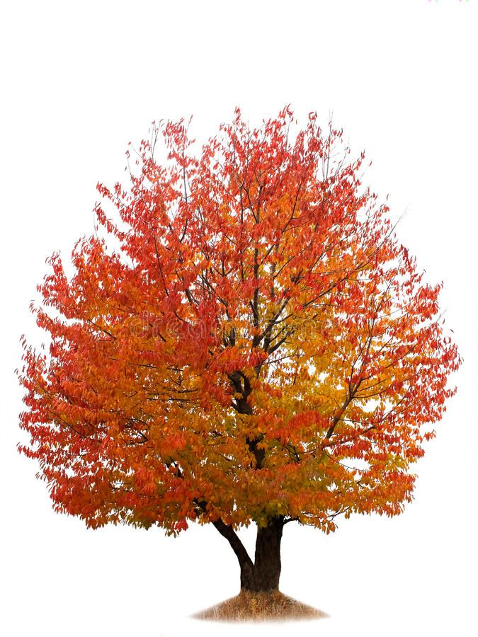 Autumn Cherry Tree Isolated On White Cherry Tree With Red And Yellow Autumn Lea Aff Isolated White Tr Tree Photoshop Autumn Trees Photoshop Landscape