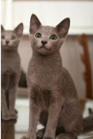 Gatinhos puros Azul Russo Russian Cattery | PetSpot