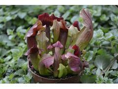 Sarracenia purpurea - špirlice nachová Zahradnictví Krulichovi - zahradnictví, květinářství, trvalky, skalničky, bylinky a koření