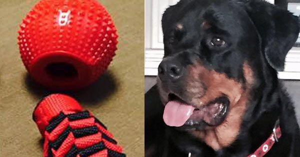 """A truly tragic event is causing one dog owner to send a message out to other dog owners """"If you have one of these balls TAKE IT AWAY!!!!"""" Jamie Stumpf, owner of the stunning Maximus Aurelius. Maximus, a five-year-old Rottweiler, …"""