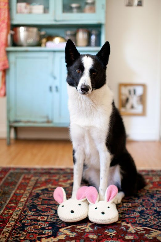 .: Border Collie, Girl, Bunny Slippers, Morning Routines, Adorable Animals, Animals Dogs, Doggies, Bunnies