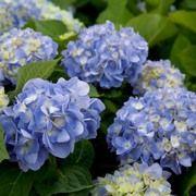Hydrangea macrophylla 'Dear Dolores'