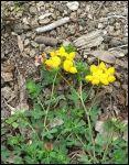 Détail d'une plante Lotier corniculé