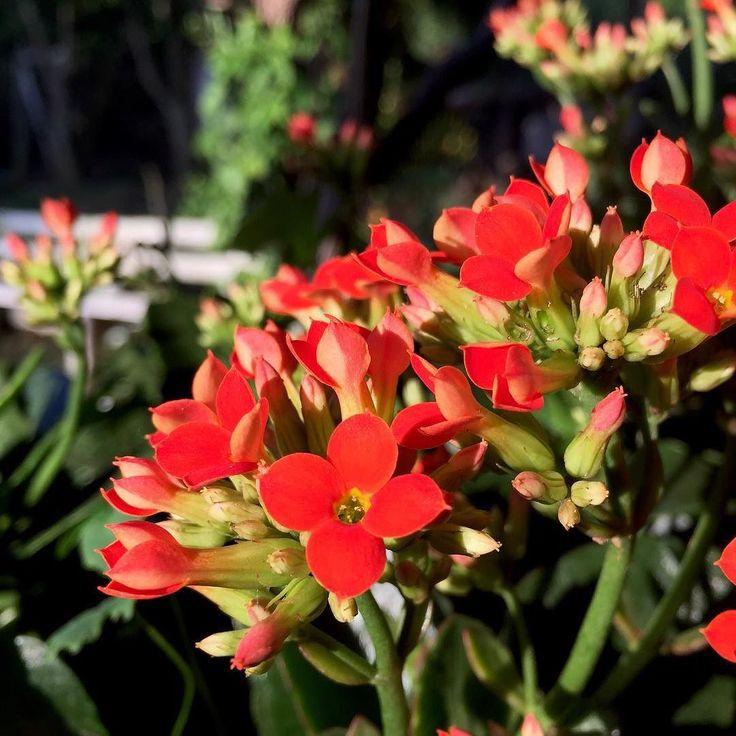 #great_captures_flowers #great_captures_brasil #nature #sun #beautiful #pretty #sunset #sunrise #flowers #twilight #beauty #light #photooftheday #love #green #dusk #day #red #iphonesia #mothernature