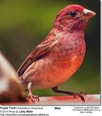 Purple Finch, Queen Elizabeth Park