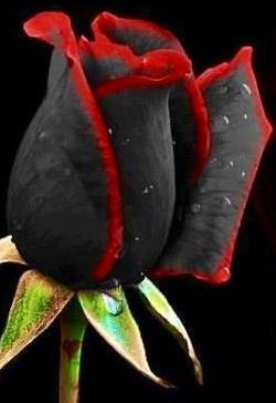 ✯ Black and Red Rose (rare)