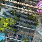 Burung Pleci Ombyokan