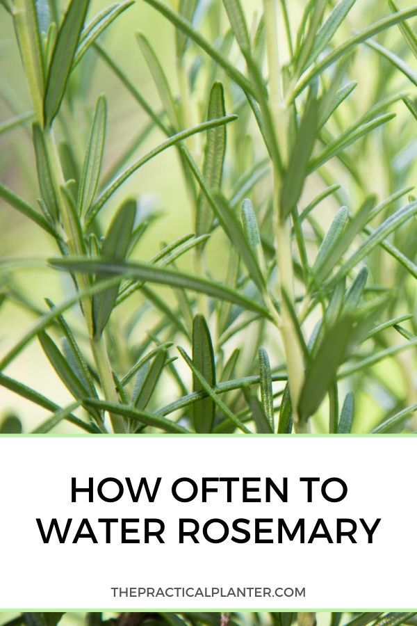 How Often To Water Rosemary In The Ground Or In Containers Rosemary Plant Herbs Growing Rosemary