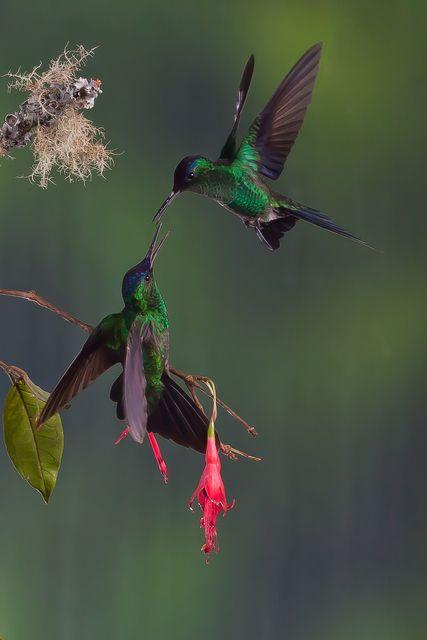 Foto beija-flor-de-fronte-violeta (Thalurania glaucopis) por Guilherme Ortiz | Wiki Aves - A Enciclopédia das Aves do Brasil