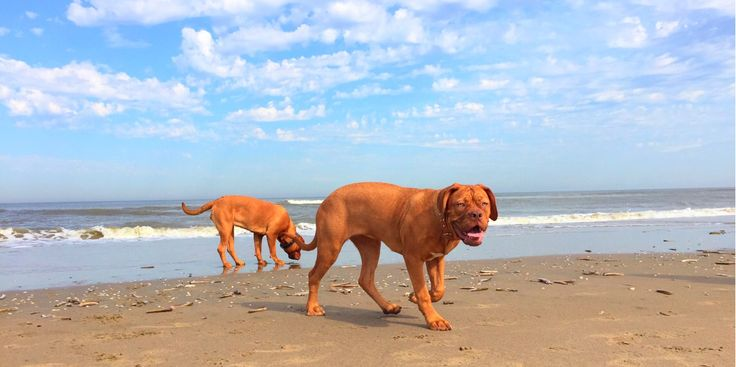 Day @ The Beach #bordeauxdog