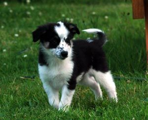 Border Collie Puppies Breeders Collies
