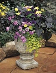 nice arrangement, with planting guide included: Gardens Ideas, Colors Combos, Creeping Jenny, Container Garden, Black Heart, Sweet Potatoes Vines, Black Velvet, Planters, Flower