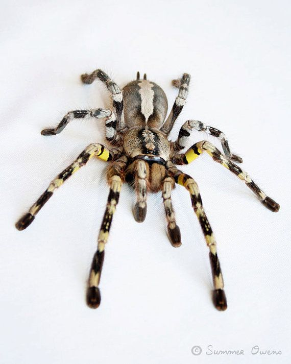 Tarantula Photography  Spider Art  Indian by summerowens on Etsy, $15.00