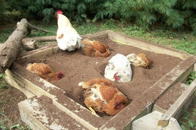 Don't forget a dust bath box for your peeps or they'll dig up your flowers/garden.