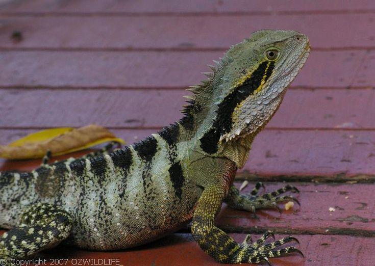 Australian Water Dragon Lizard: 17 Best Images About Australian Native Fauna On Pinterest