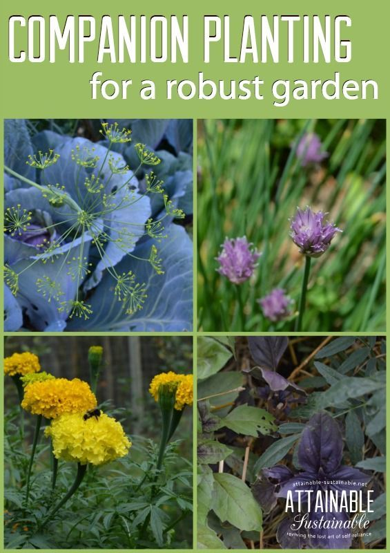7 Herbs For Companion Planting And A More Robust Garden 400 x 300