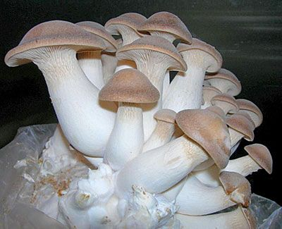 Мицелий грибов вешенки - на древесном носителе (деревянные палочки). Вешенка королевская популярный сорт грибов, легка в выращивании, растёт большими группами. Шляпки грибов рожковидной формы, светло-коричневого цвета. Первый урожай можно получить - на мягкой древесине (тополь, липа, ива, берёза) через 3 месяца, на твёрдой (клён, ясень, бук, дуб) через 6 месяцев.