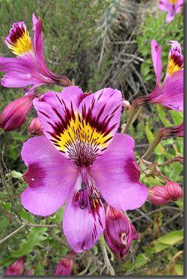 Las Alstroemerias o el Lirio de Perú, son un tipo de flor silvestre que se da en el desierto de Atacama al norte de Chile,
