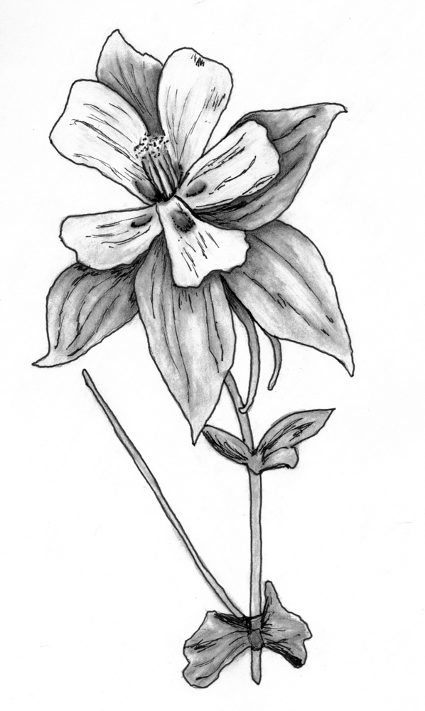 Columbine Flower Line Drawing : Best my sketches images on pinterest art pieces