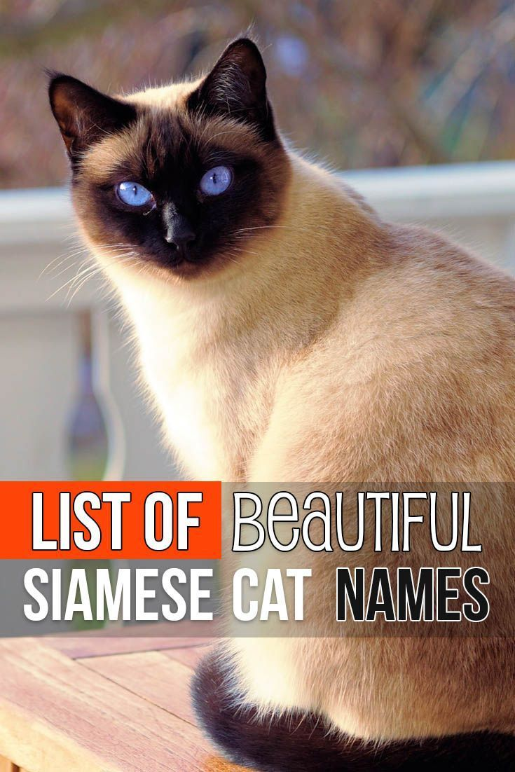 List Of Beautiful Siamese Cat Names Catnames Cat Names Cute Cat Names Siamese Cats Facts