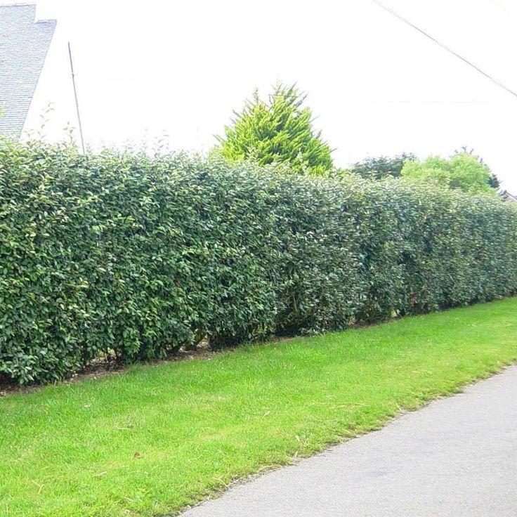 Elaeagnus Ebbingei Hedge Plants