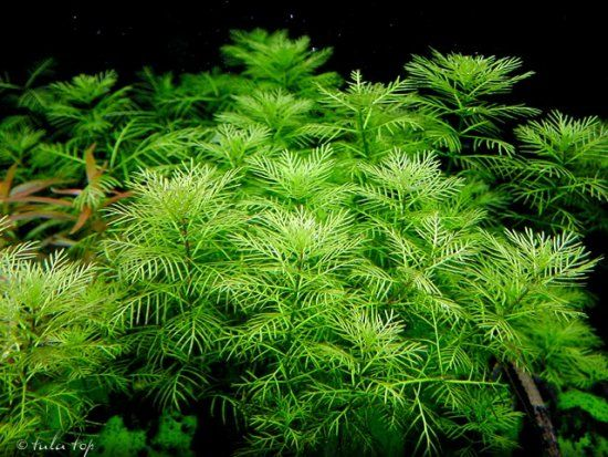 Myriophyllum mattogrossense 'Green'