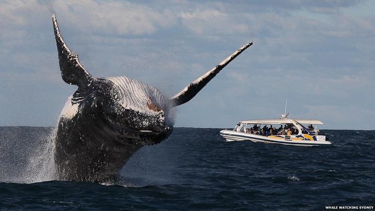 Según Will Ford, director de Avistamiento de Ballenas de Sydney, el paso de los cetáceos por Australia se ha retrasado este año debido a el fenómeno meteorológico de El Niño.: Adventure, Animals, Sydney Whale, Whale Watching, Sydney Australia, Humpback Whales, Sea, Australia S Humpback
