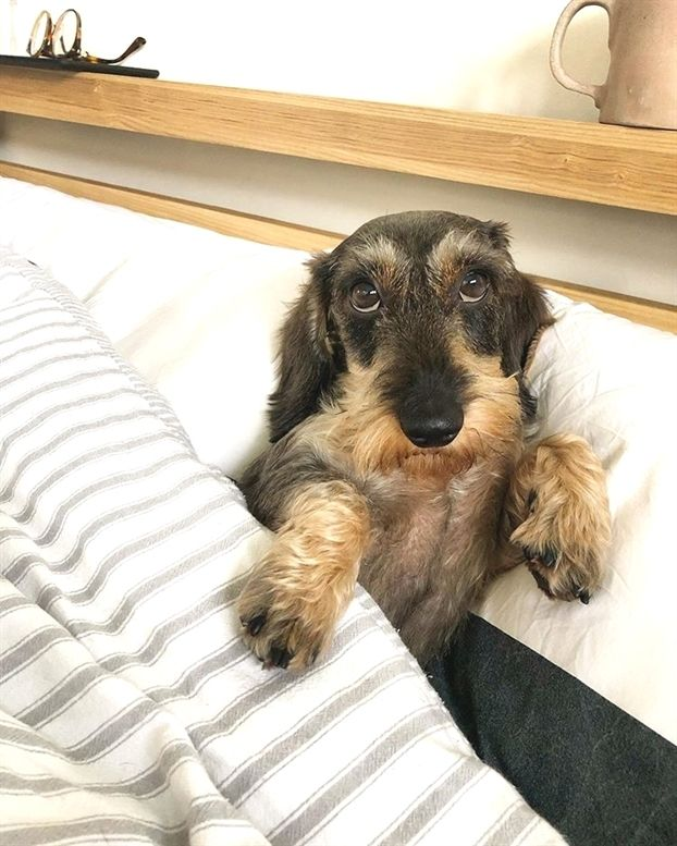 Dog Allergies Are Dachshunds Hypoallergenic Wire Haired