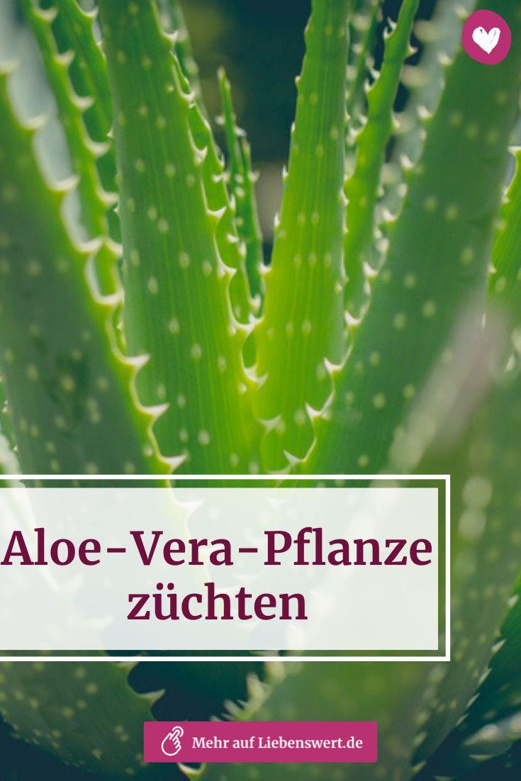Aloe Vera Pflanze Ernten Und Zuchten Mit Der Richtigen Pflege Aloe Vera Pflanze Aloe Vera Pflanze Pflege Und Aloe Vera