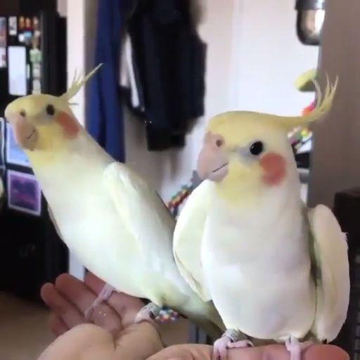 Papagaios felizes   – Animals